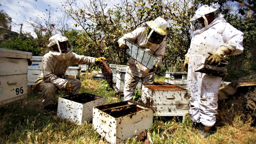 Palestinian beekeepers collect honey at a farm in Rafah in the southern Gaza Strip...Palestinian beekeepers collect honey at a farm in Rafah in the southern Gaza Strip, April 9, 2013. REUTERS/Ibraheem Abu Mustafa (GAZA - Tags: SOCIETY)