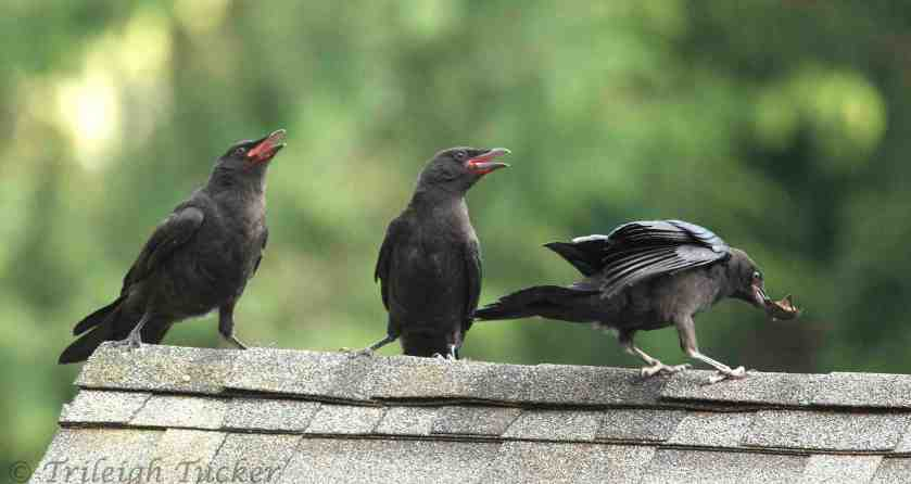 Juvenile Crows Arguing on a Rooftop - by Trileigh Tucker