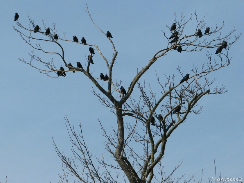 Tree of Crows - Jack Daws