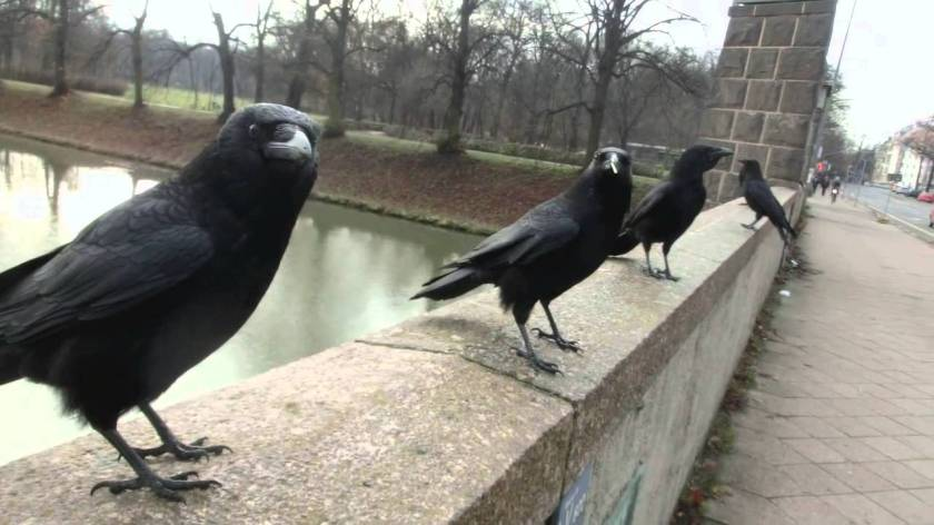 """Sound of Crows"" - Rabenvater"