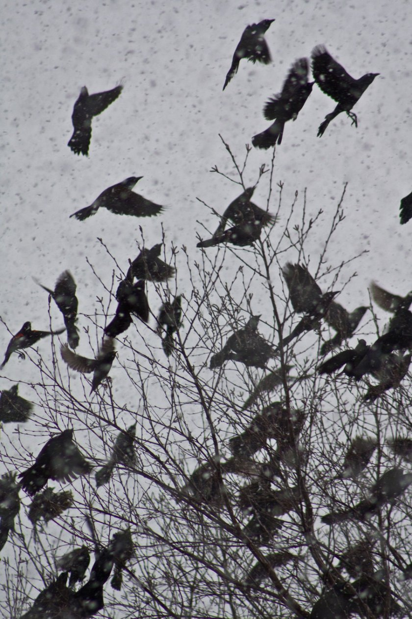 Crows Leaving Tree in Snow by Marty Cash