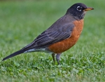 American Robin - Jerry McFarland - via Flickr